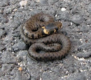 A r f associazione recupero fauna i serpenti italiani 2 for Serpente frustone