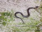 A r f associazione recupero fauna il becco degli uccelli for Trappole per serpenti